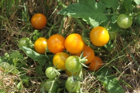 Sungolds