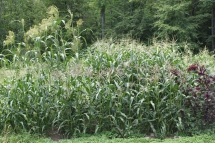 corn patch