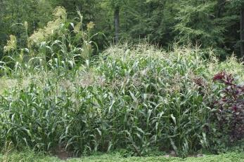 corn patch