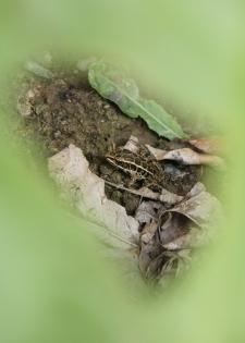 Pickerel frog through a rhubarb leaf