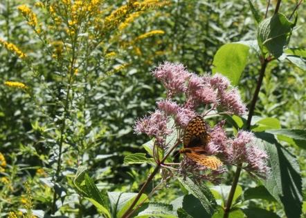 Fritillary on Joe pye weed