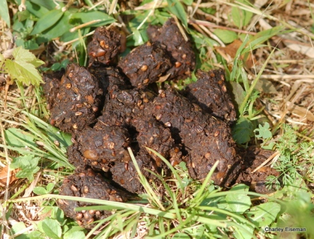 Bear scat with grape seeds