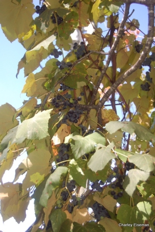Fox grapes