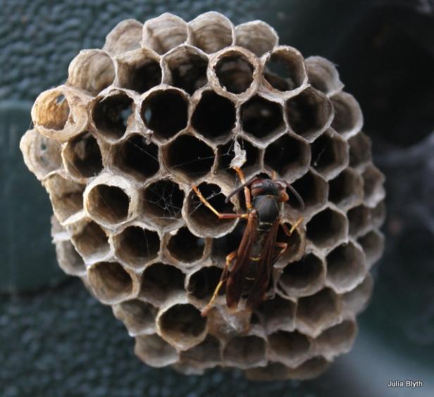 paper wasp- Polistes fuscatus