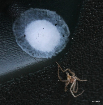 spider egg sac