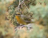 Millers; Hepatic Tanager female
