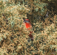 Millers; Hepatic Tanager male