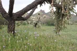 wildflowers protected from grazers by cacti