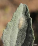 Bucculatrix enceliae cocoon on brittlebush