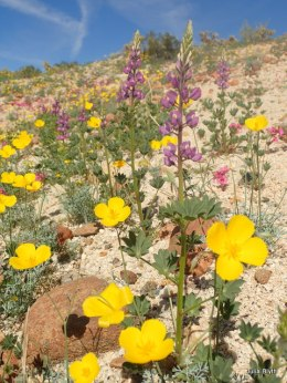 Lupine, poppies, and monkeyflower