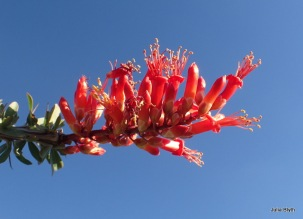 Tubb Canyon; Ocotillo in bloom
