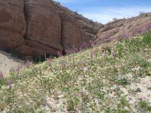 Lupine in Hawk Canyon