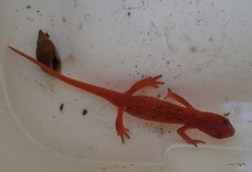 Red Eft (young red-spotted newt)
