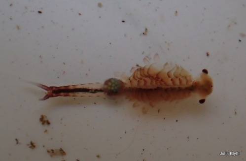 Fairy shrimp with eggs