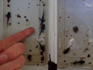 "1.5"" long larvae on April 23"