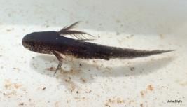 Marbled Salamander larvae