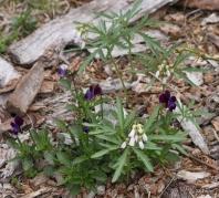 cut-leaf toothwort (Cardamine concatenata) among violas