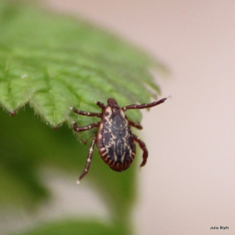 dog tick (male)