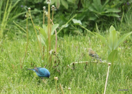 indigo bunting with goldfinch