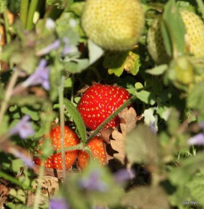 hiding strawberries