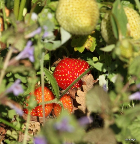 hiding strawberries