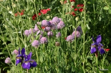 red yarrow, chives, iris