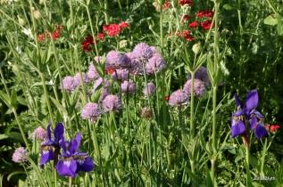 red yarrow, chives, iris