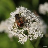 Bee mimic fly on valerian