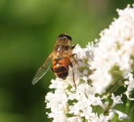 Bee mimic fly on valerian