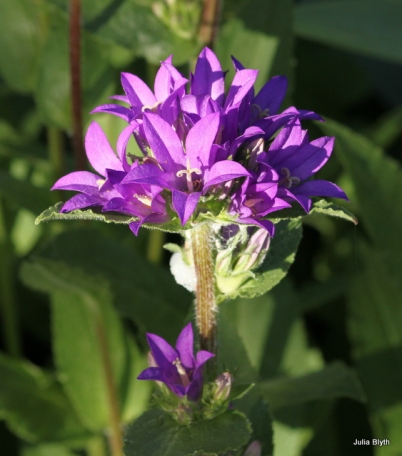Campanula, bellflower