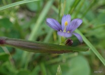 blue-eyed grass (a tiny iris!)