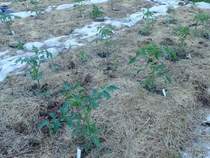 tomato plants in the lower garden