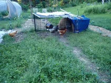 temporary chicken shanty