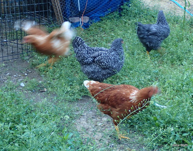 Chickens in motion!