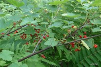 feral red currant