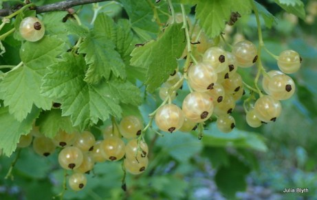 planted red currant--white variety