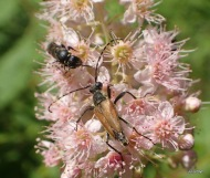 long horned beetle and bee