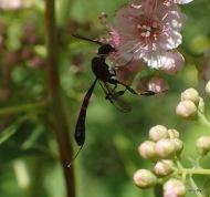 skinny wasp