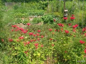 bee balm on the garden fence