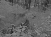 older fox