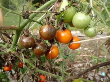 sungolds with late blight; note blackened vine