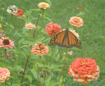 Monarch on zinnias (Oct 8)