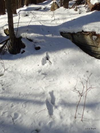 bobcat bounding down