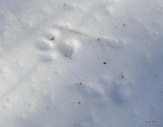 bobcat walking on crust