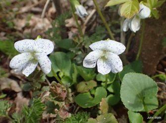 speckled violets
