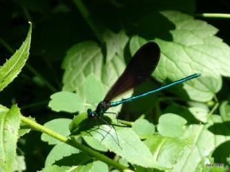 Ebony Jewelwing (Calopteryx maculata)