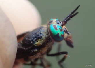 Deer fly (Chrysops) eyes