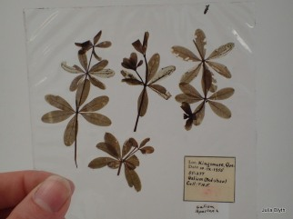 Looking through pressed leafmines at the Canadian National Collection